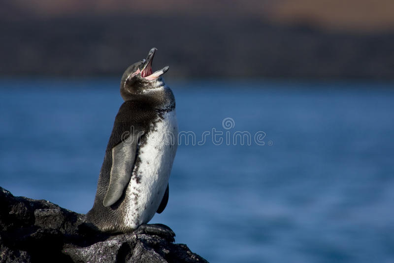 Pinguim do canto imagem de stock royalty free
