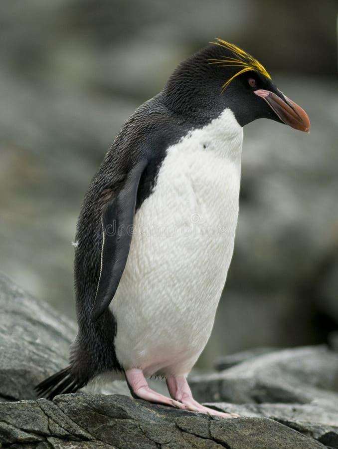 Pinguim do macarrão imagem de stock royalty free