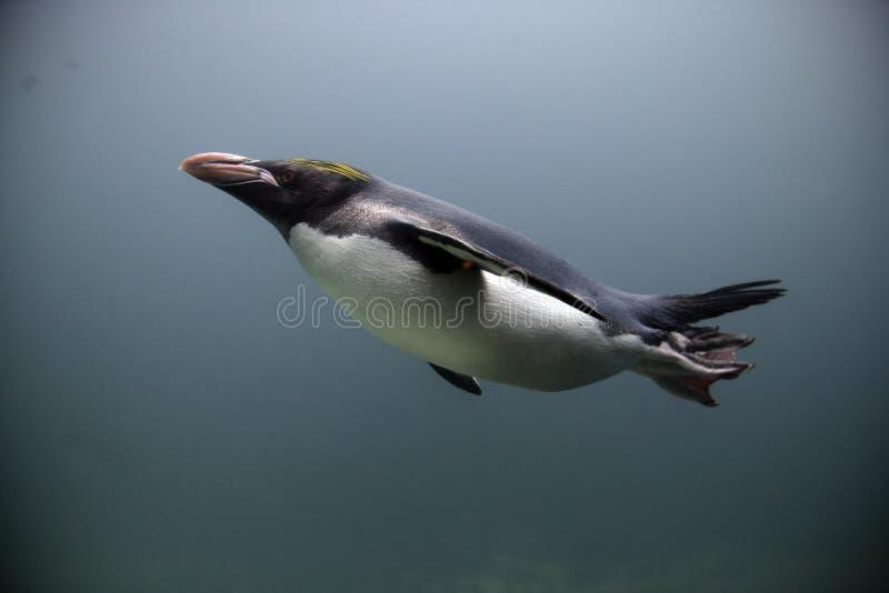 Pinguim do macarrão, chrysolophus do Eudyptes foto de stock royalty free