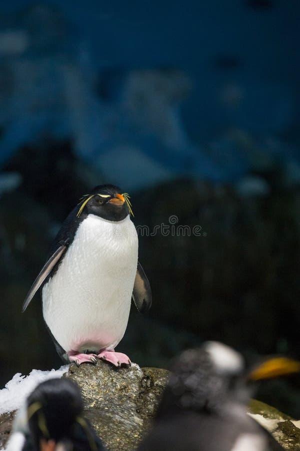 Pinguim do macarrão que está na pedra e no gelo na frente do fundo preto e azul imagens de stock royalty free