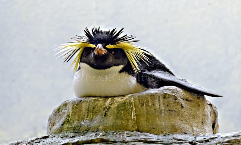 Pinguim do rocha-funil da criação de animais fotos de stock royalty free