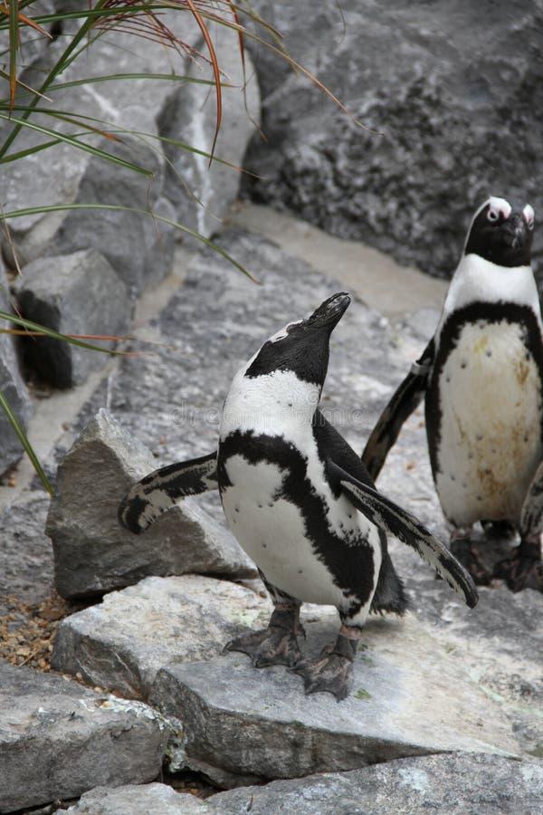Pinguim do Showboat imagem de stock royalty free