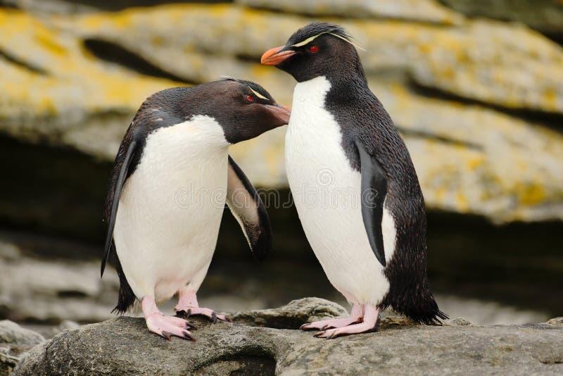 Pinguim dois Pinguim de Rockhopper, chrysocome do Eudyptes, na rocha, na água com ondas, nos pássaros no habitat da natureza da r fotos de stock