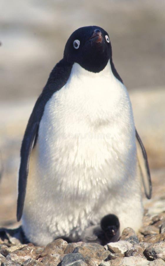 Pinguim e pintainho do bebê fotografia de stock