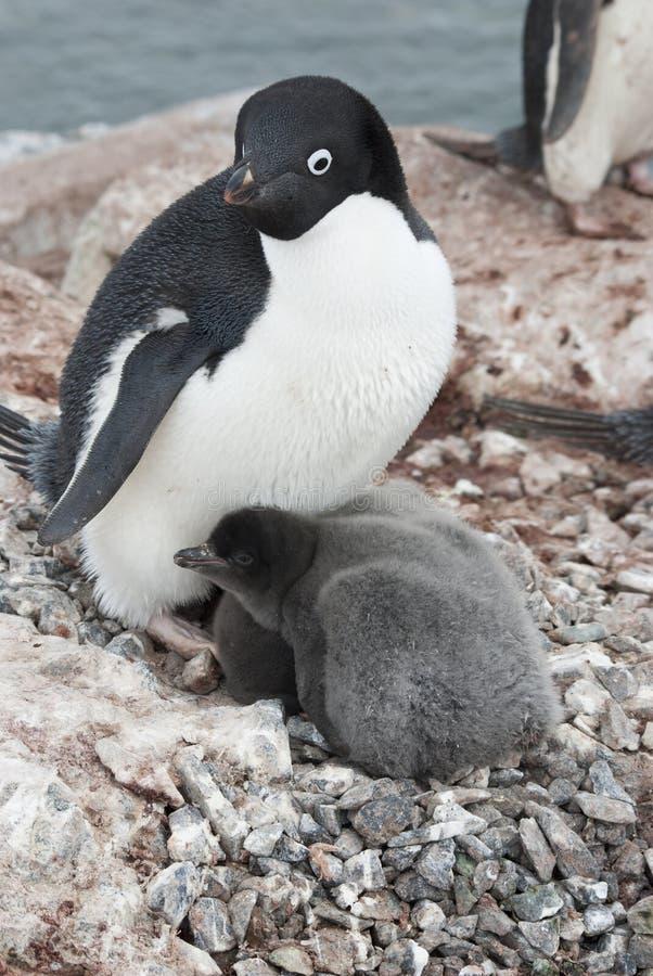 Pinguim e pintainhos adultos de Adelie no ninho. fotografia de stock royalty free