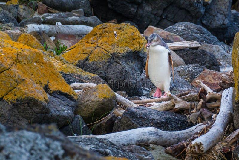Pinguim Eyed amarelo fotos de stock royalty free