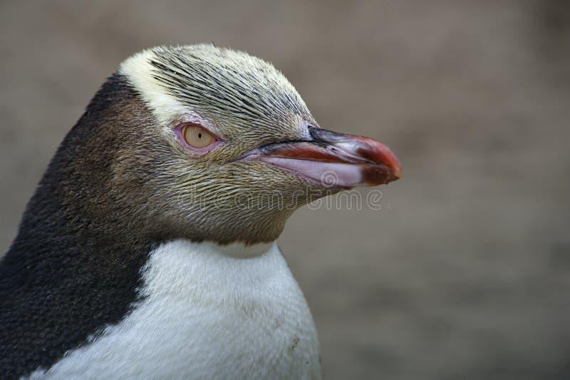 Pinguim Eyed amarelo imagens de stock royalty free