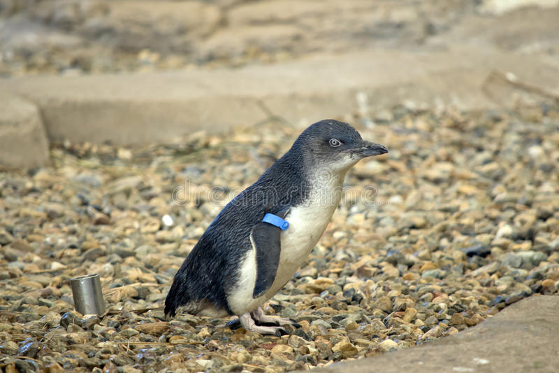 Pinguim feericamente foto de stock royalty free