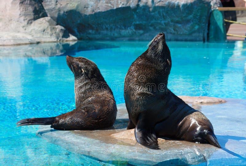 Pinguim Galápagos fotos de stock