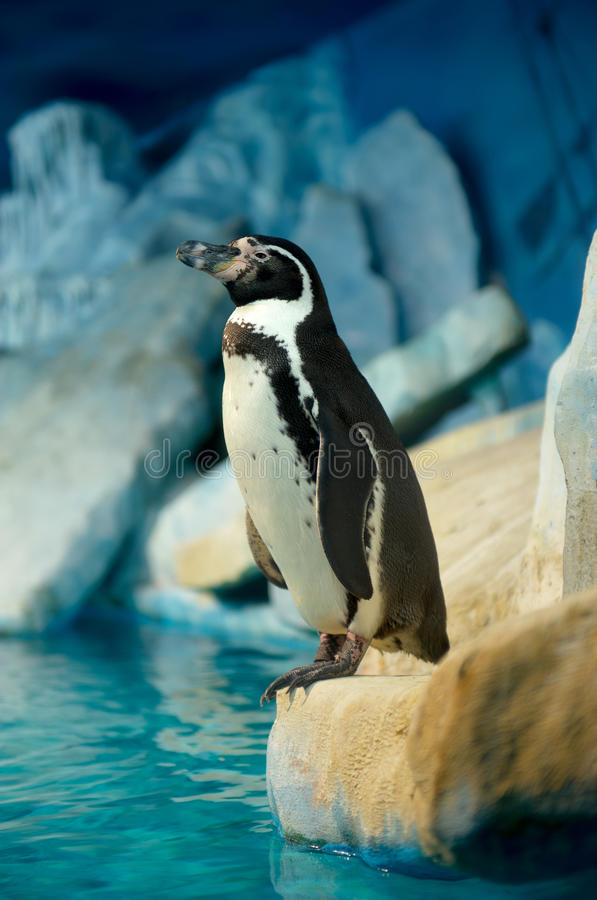Pinguim Humboldti fotos de stock