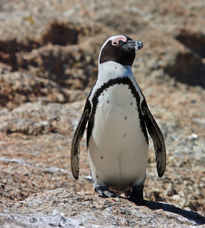 Pinguim, jackass (demersus do Spheniscus) em rochas foto de stock royalty free