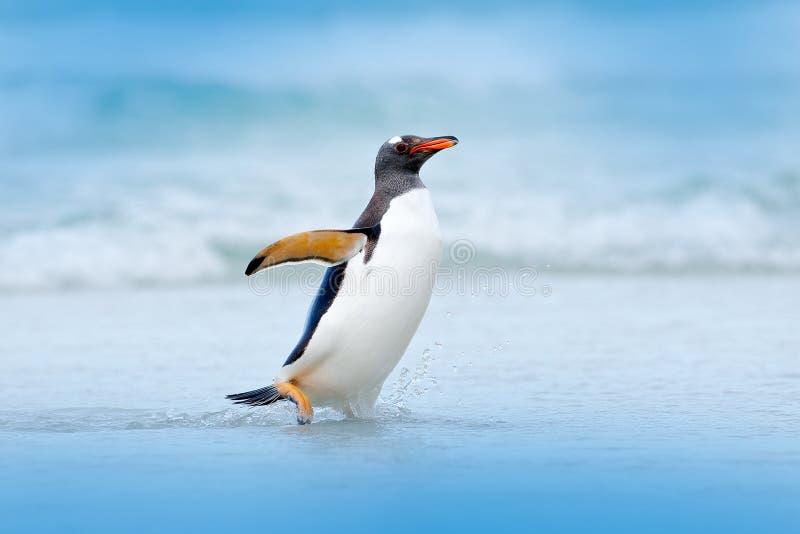 Pinguim na água O pinguim de Gentoo salta da água azul ao nadar através do oceano em Falkland Island, pássaro no natu imagem de stock