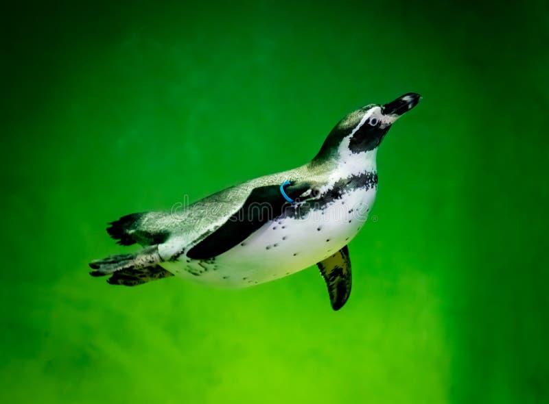 Pinguim na água verde imagem de stock