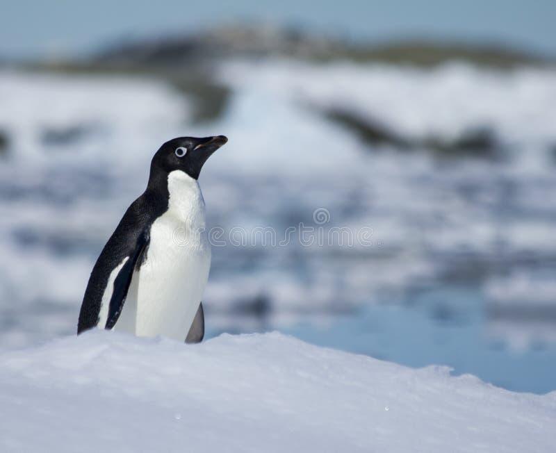 Pinguim na Antártica imagens de stock
