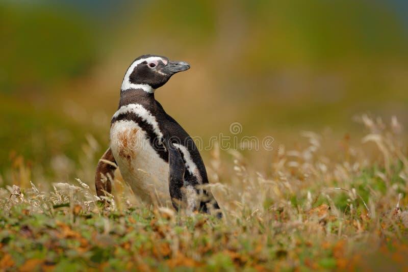 Pinguim na grama, imagem engraçada na natureza Falkland Islands Pinguim de Magellan no habitat da natureza imagem de stock royalty free