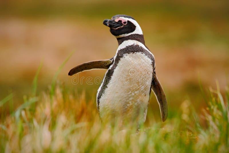 Pinguim na grama Pinguim na natureza O pinguim de Magellanic com levanta acima a asa Pinguim preto e branco na cena dos animais s imagem de stock royalty free