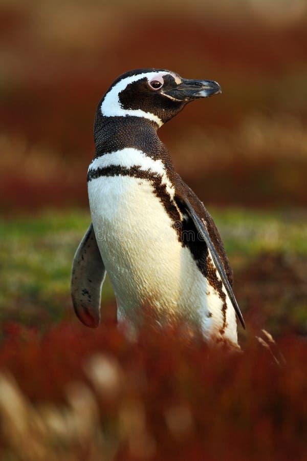 Pinguim na grama vermelha da noite, pinguim de Magellanic, magellanicus do Spheniscus, pássaro de água preto e branco no habitat  imagens de stock royalty free
