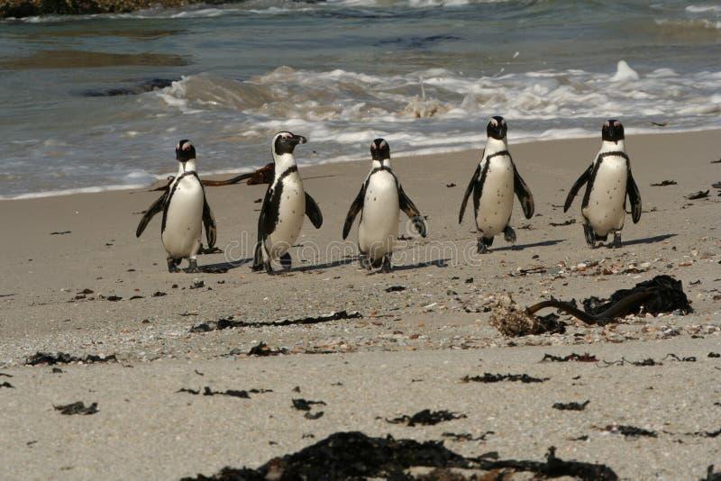 Pinguim na patrulha fotografia de stock