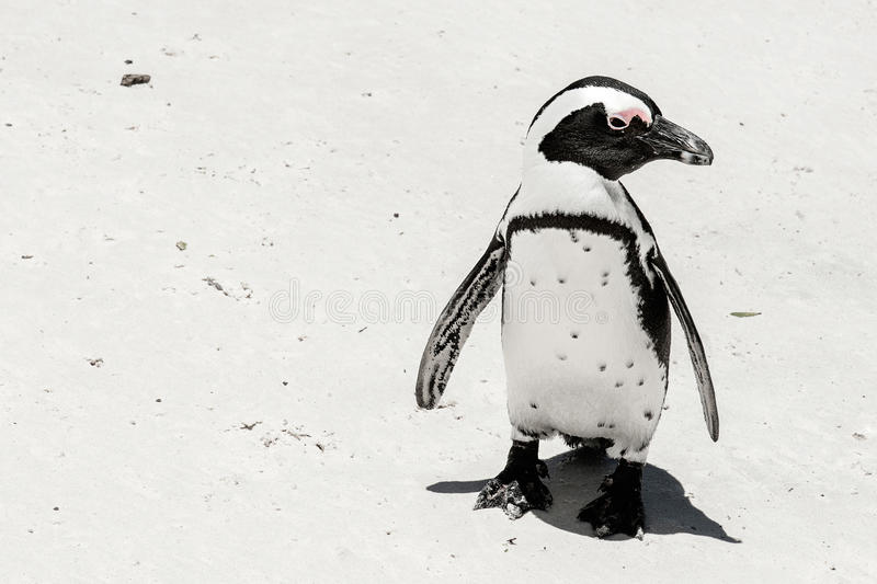 Pinguim na praia fotografia de stock