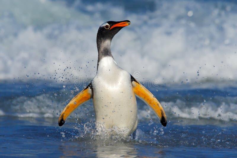 Pinguim nas ondas azuis O pinguim de Gentoo, pássaro de água salta da água azul ao nadar através do oceano em Falkland Isl foto de stock