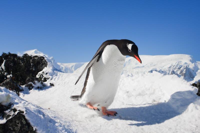 Pinguim nas rochas imagem de stock royalty free