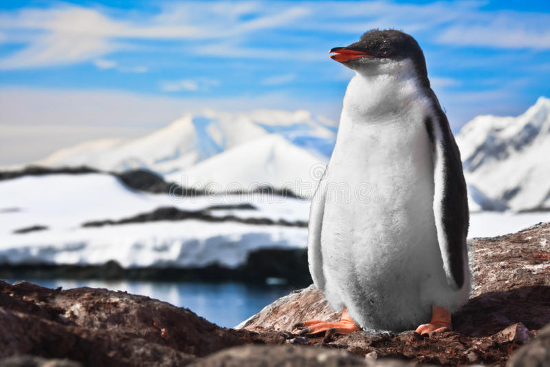 Pinguim nas rochas imagem de stock