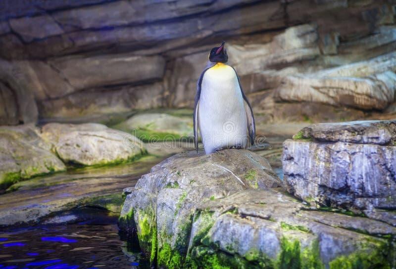 Pinguim nas rochas fotografia de stock
