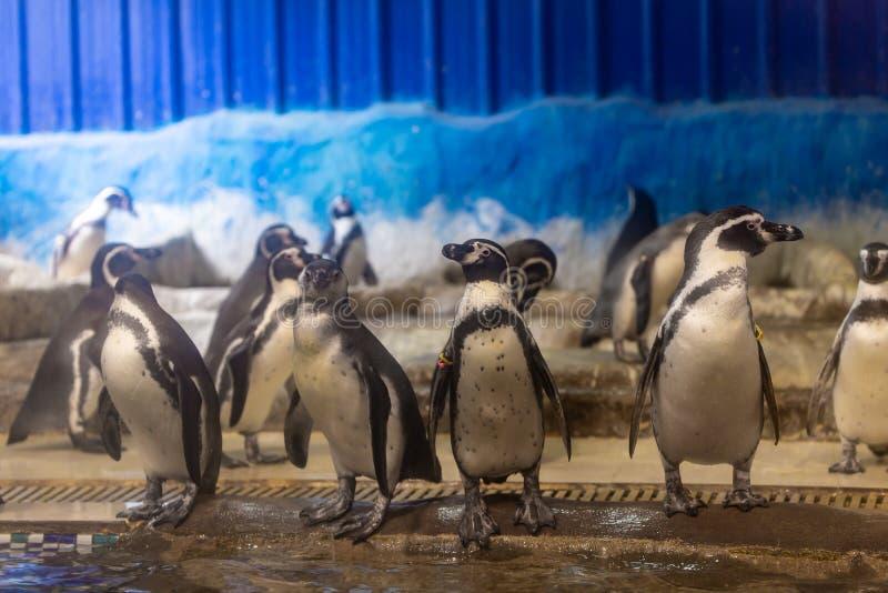Pinguim no aquário do jardim zoológico imagem de stock royalty free