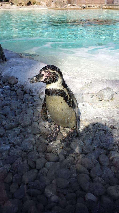 Pinguim no jardim zool?gico fotografia de stock