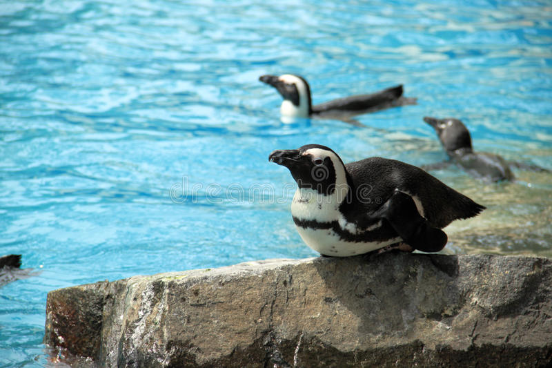 Pinguim no parque do pássaro foto de stock royalty free