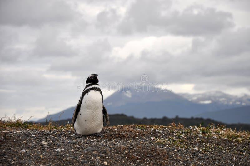Pinguim no Patagonia - Argentina fotografia de stock