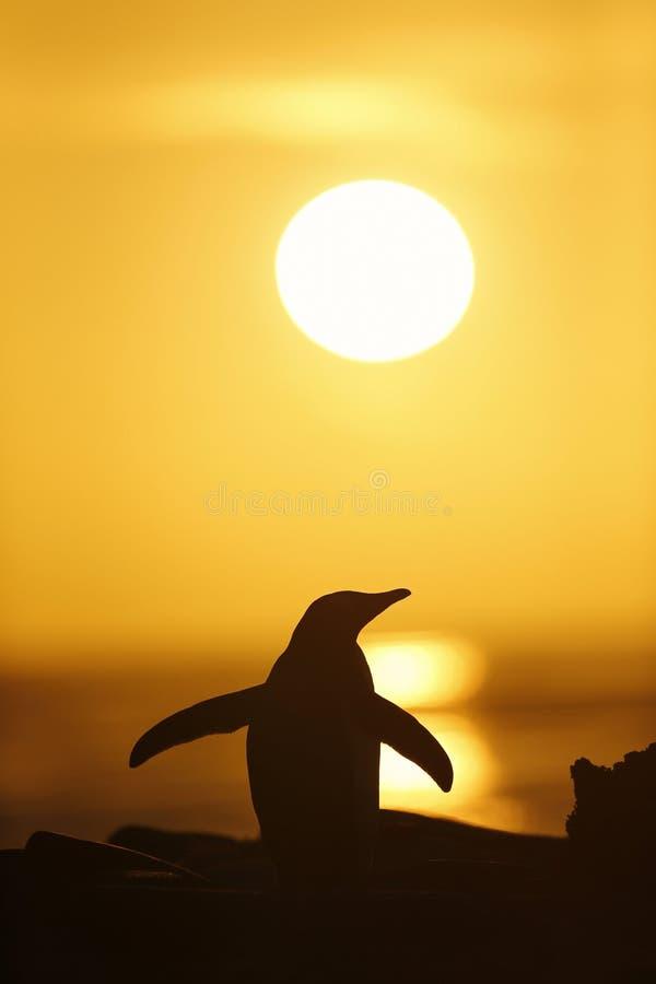 Pinguim no por do sol, Falkland Islands de Gentoo imagens de stock royalty free