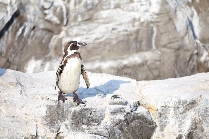 Pinguim pequeno imagem de stock royalty free