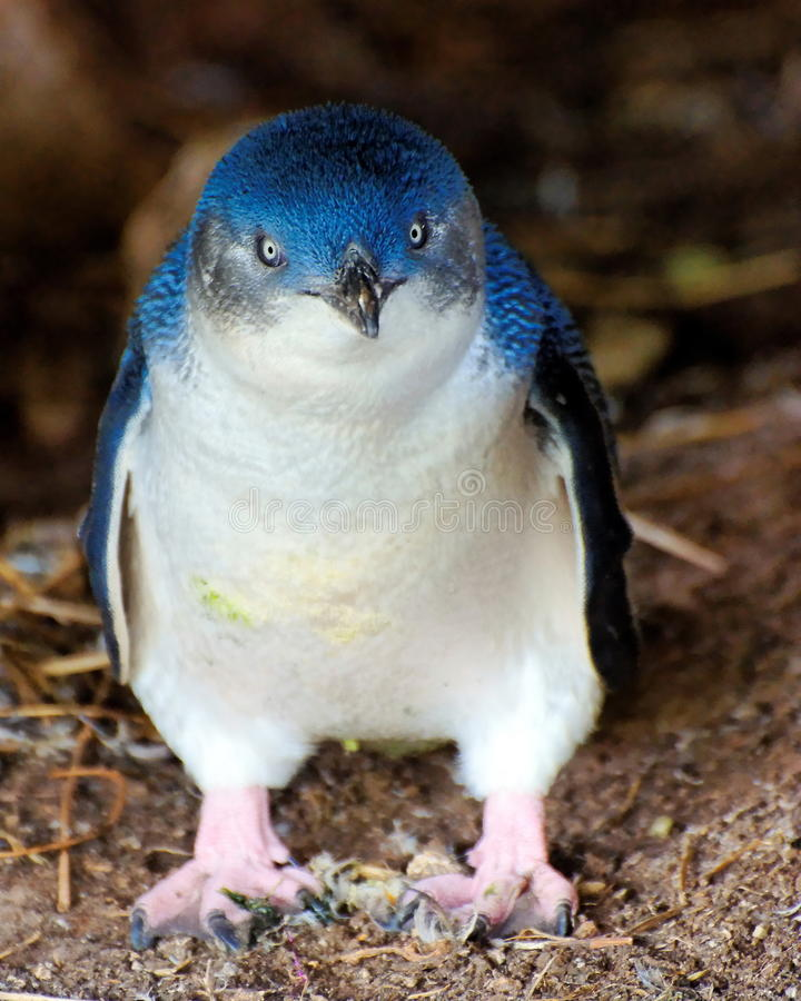Pinguim pequeno fotos de stock royalty free