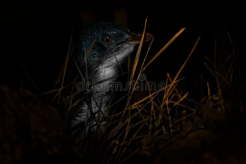 Pinguim pequeno - menor de Eudyptula - no korora maori, retorno noturno à costa para alimentar pintainhos nos ninhos, Oamarau, No fotografia de stock royalty free