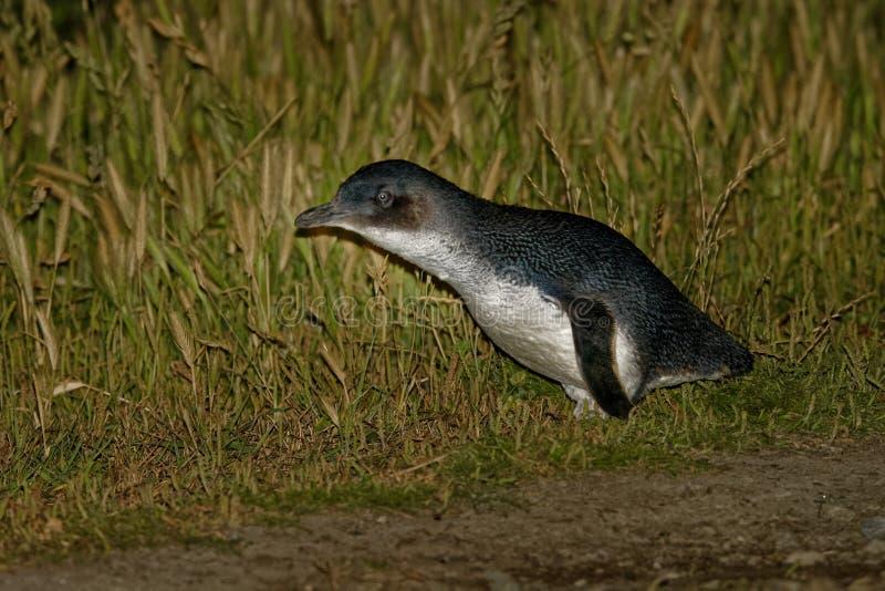 Pinguim pequeno - menor de Eudyptula - no korora maori, retorno noturno à costa para alimentar pintainhos nos ninhos, Oamarau, No fotografia de stock