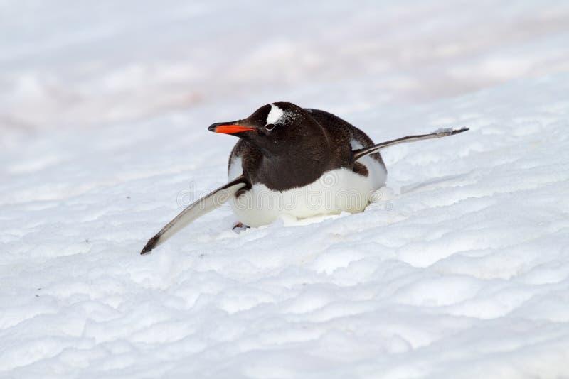 Pinguim que bobsleighing, Continente antárctico de Gentoo imagem de stock royalty free