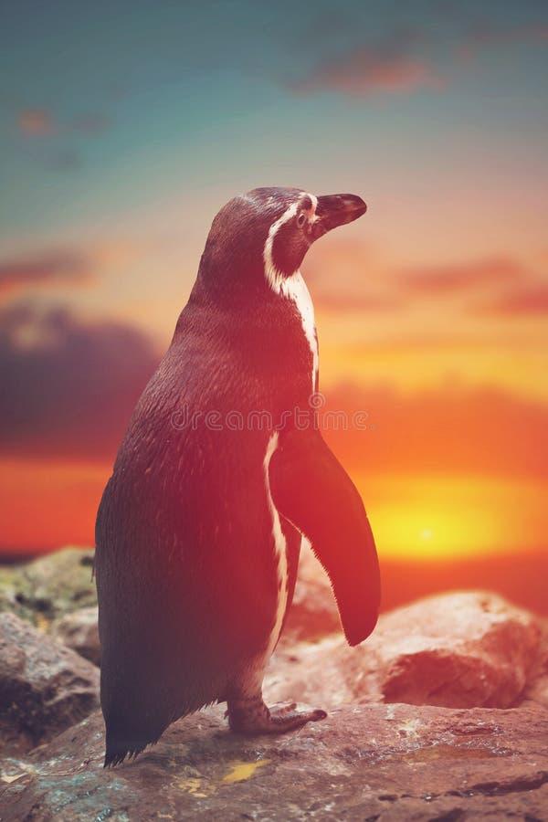 Pinguim que está nas rochas imagens de stock