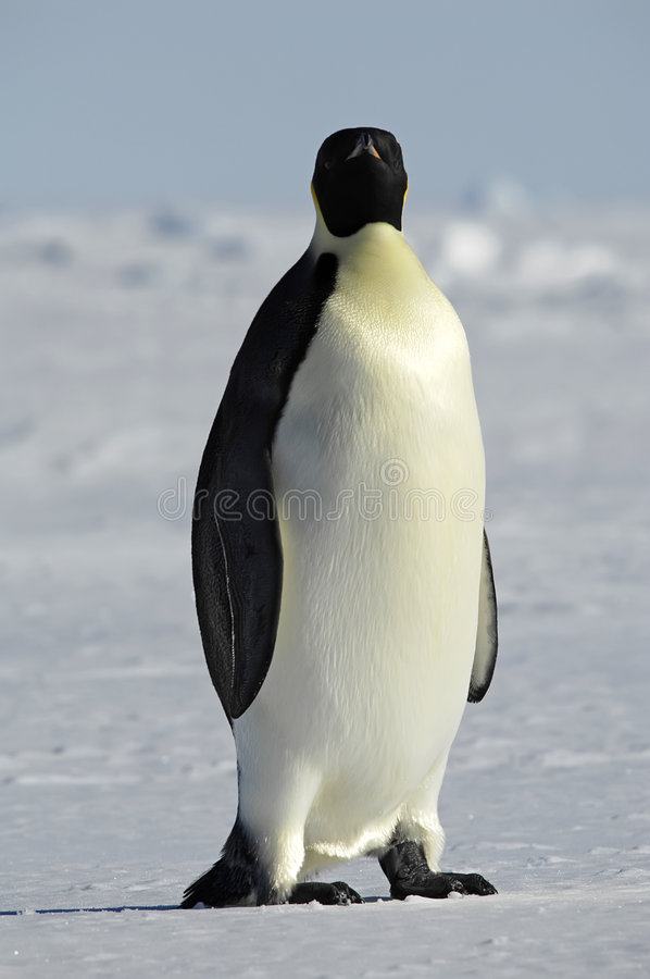 Pinguim que presta atenção a lhe imagens de stock royalty free