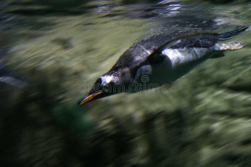 Pinguim rápido foto de stock royalty free