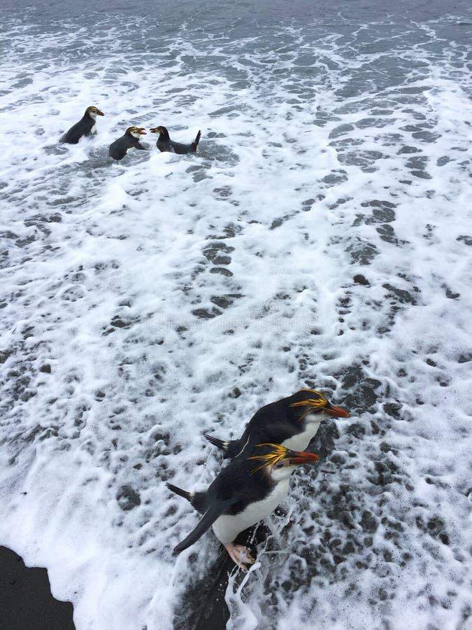 Pinguim real, schlegeli do Eudyptes fotografia de stock