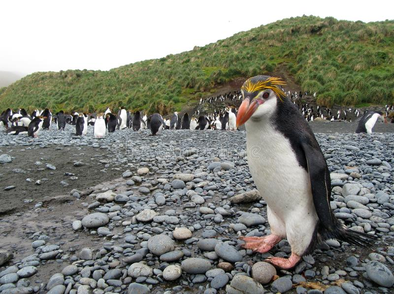 Pinguim real, schlegeli do Eudyptes imagens de stock royalty free