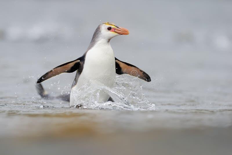 Pinguim real (schlegeli do Eudyptes) que vem para fora a água imagem de stock