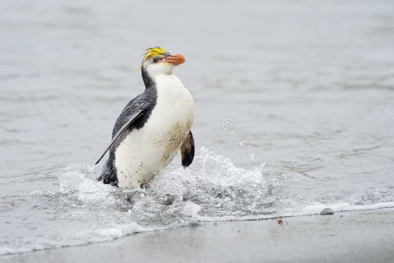 Pinguim real (schlegeli do Eudyptes) que vem para fora a água fotografia de stock royalty free