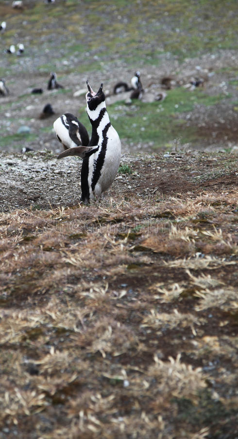 Pinguim rujir foto de stock