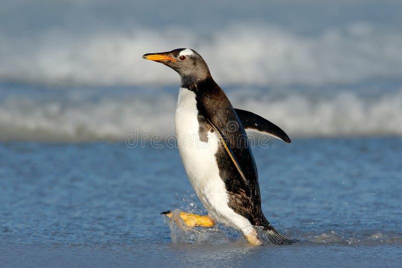Pinguim running na água do oceano O pinguim de Gentoo salta da água azul ao nadar através do oceano em Falkland Island fotografia de stock