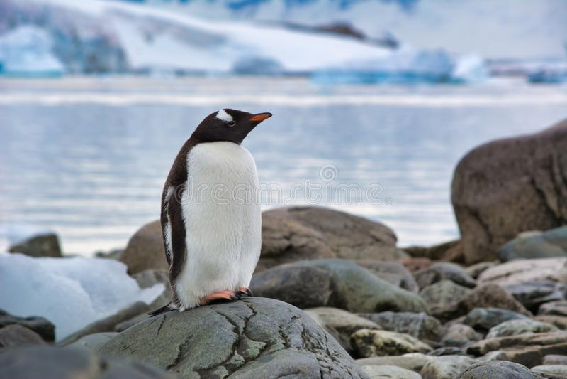 Pinguim só de Gentoo que descansa na praia na Antártica fotos de stock