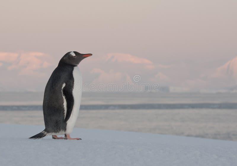 Pinguim solitário de Gentoo no gelo. imagens de stock royalty free