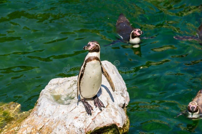 Pinguim solitário de Magellanic em uma rocha cercada pela água fotos de stock