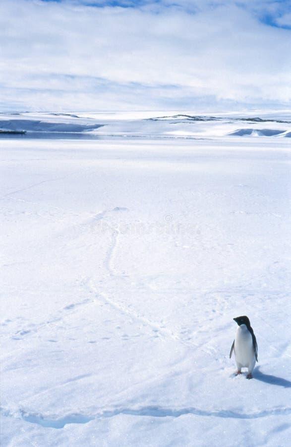 Pinguim solitário no gelo marinho foto de stock